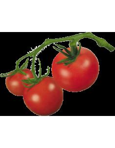 Paradižnik v grozdu